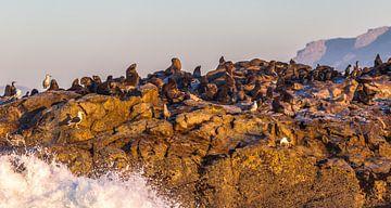 Cape Fur Seals op Seal Island, Zuid Afrika van Peter Leenen