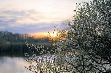 wilgenkatjes bij zonsondergang van Tania Perneel