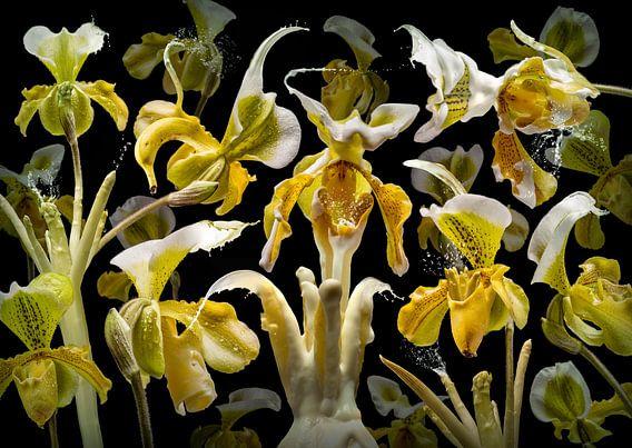 Orchidea Asparagus
