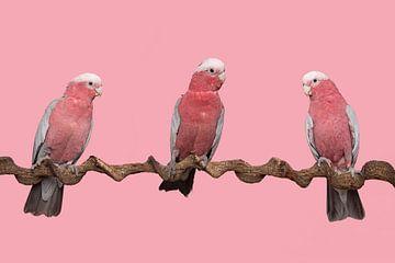 Drei rosa Kakadus auf einem rosa Hintergrund von Elles Rijsdijk