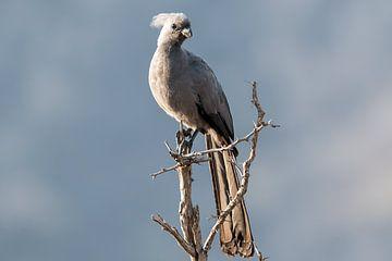 Grauer Lärmvogel von Angelika Stern