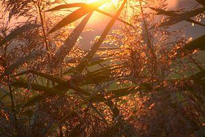 Warme zonnegloed door het riet van