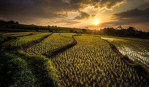 Golden rice van Thierry Matsaert