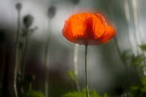 Poppy von Piet Haaksma