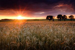 Het korenveld van