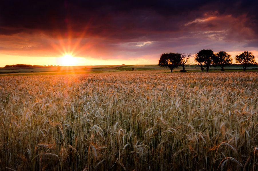 Het korenveld