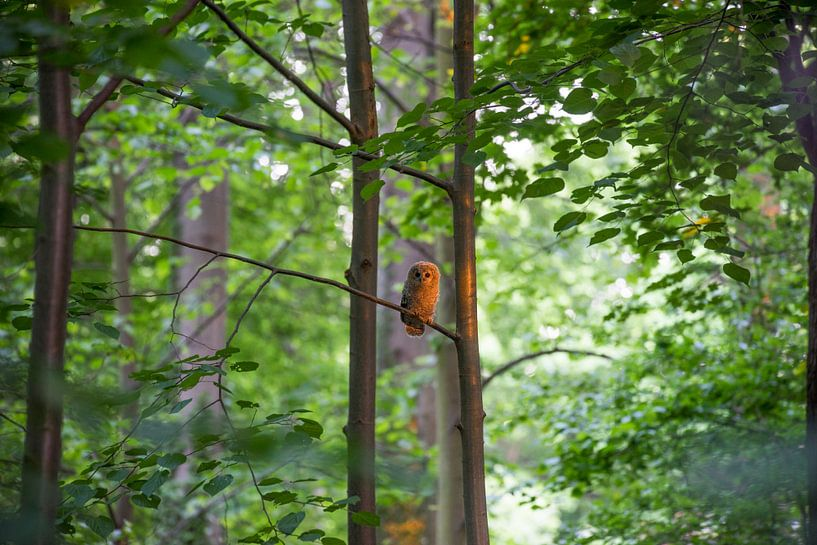 Junger Waldkauz von Patrice von Collani