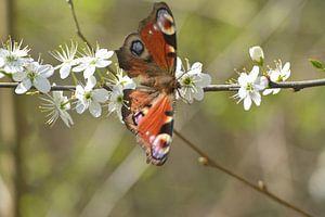 Dagpauwoog vlinder op meidoorn in bloei