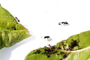 Mieren aan het werk van Adrey Caljé