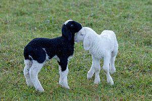 Schafe von
