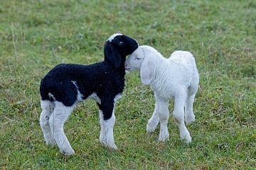 Schafe von Andreas Müller