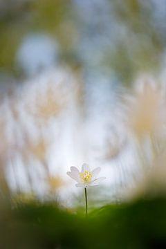 printemps sur Pim Leijen