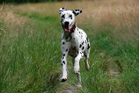 Rennender Dalmatiner