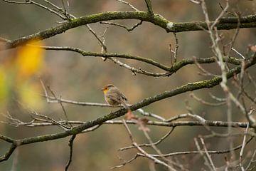 European Robin von Daniel Van der Brug
