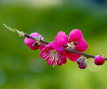 Rose bloesem perzikboom van Ina Hölzel