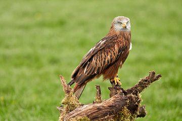 Un milan royal, l'oiseau de proie, est assis sur une souche d'arbre dans l'herbe. sur Gea Veenstra