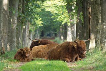 Schotse Hooglanders von Sjoerd de Hoop