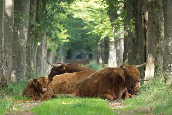 Schotse Hooglanders