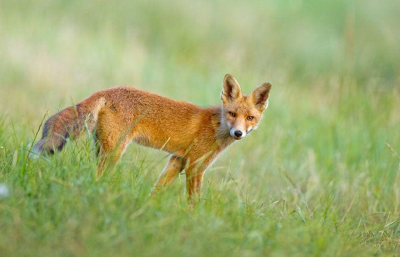 Jonge vos in het gras van Menno Schaefer