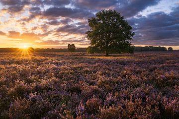 Blühender Heidekraut-Sonnenaufgang von Rick Kloekke