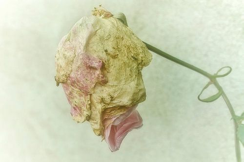 kansloos verdroogd in de knop (roos)