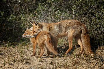 Moeder vos en haar welp van