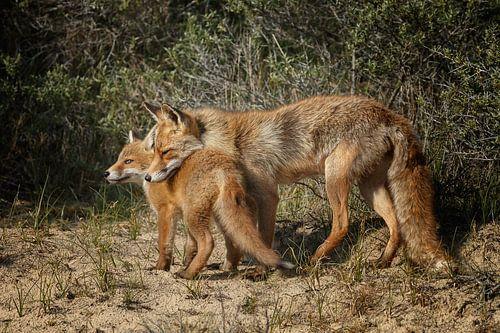 Moeder vos en haar welp