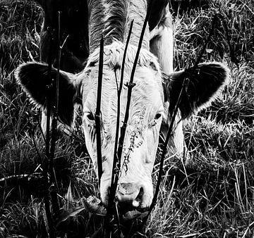 Zwart-wit portret van een koe / kalf dat graast aan de oever van een sloot von Hans Post
