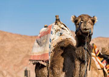 ein gepacktes Kamel in der Wüste an der Grenze zwischen Israel und Ägypten... von Compuinfoto .