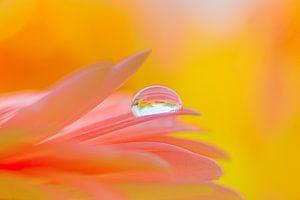Druppel op een roze bloem van