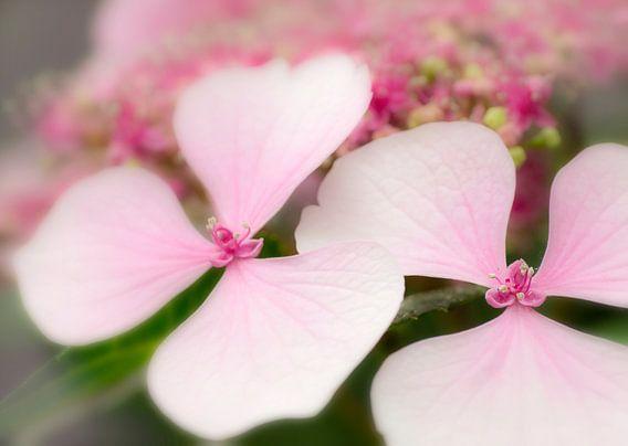 Hortensia in roze van Greetje van Son