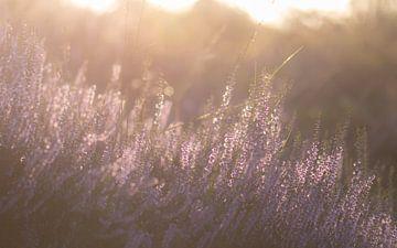 bruyère sous le soleil du matin sur Tania Perneel