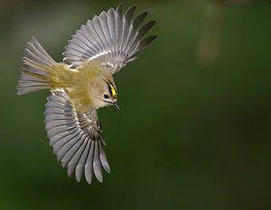 Vliegende Goudhaan (Regulus regulus)