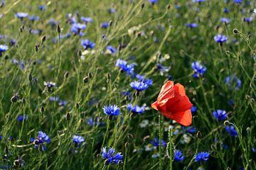 Bloemenveld met klaproos en korenbloem van Sandra van Vugt