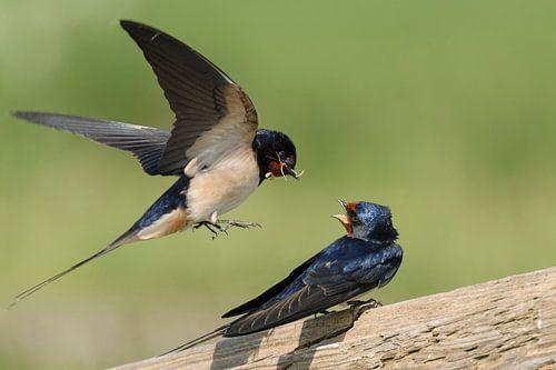 Barn Swallows * Hirundo rustica * courting van wunderbare Erde