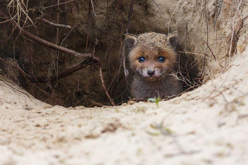 Red fox cub portrait sur Pim Leijen