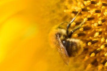 Hommel op zonnebloem vintage geel van Sascha van Dam