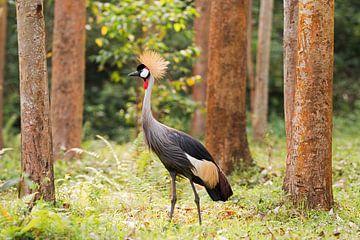 Kronenkranich in Uganda van