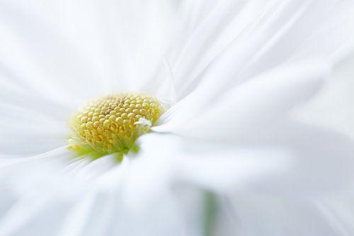White petals...