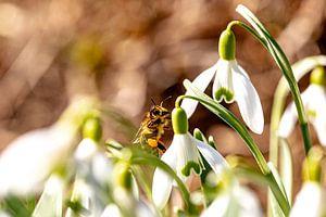 Een van de eerste bijen die stuifmeel verzamelt van Harald Schottner