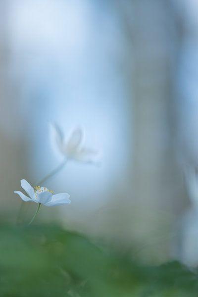 Zoekend naar het licht, bosanemoontje. van Francis Dost