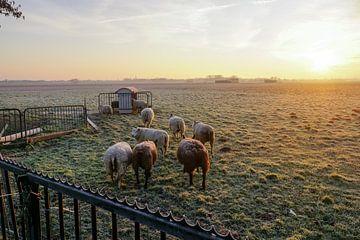 grazende schapen met zon op de achtergrond sur Dirk van Egmond