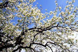 Witte lentebloesem tegen een blauwe lucht