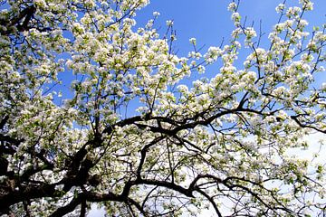 Witte lentebloesem tegen een blauwe lucht van Jessica Berendsen