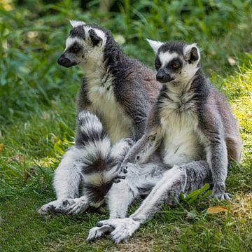 Ringstaartmaki : Safaripark Beekse Bergen van Loek Lobel