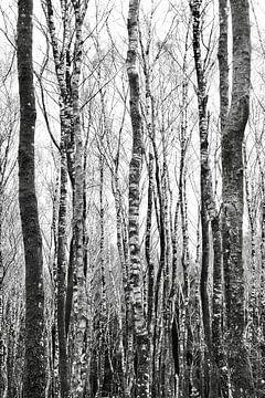 Birkenbäumen von Martijn Verhagen