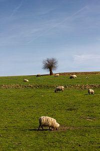 Schapen grazen in Limburgs landschap