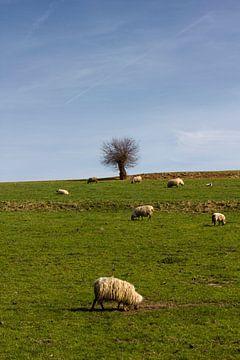 Schapen grazen in Limburgs landschap von Arno Photo