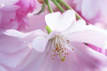 Bloesem. Hanami. Cherry Blossom.003. van George Ino