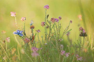 Heideblauwtjes in de dopheide van Aukje Ploeg